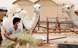 saudi-mers-camel
